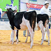 UKDairyDays18_Holstein_0606