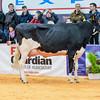 UKDairyExpo18_Holstein_6856