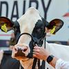 UKDairyExpo18_Holstein_6852