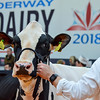 UKDairyExpo18_Holstein_6851