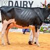 UKDairyExpo18_Holstein_7055