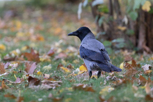 boekarest, bonte kraai, hooded crow