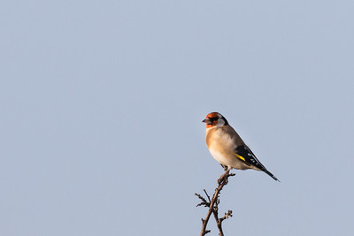 viscri, putter, goldfinch
