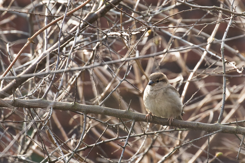 huismus, house sparrow