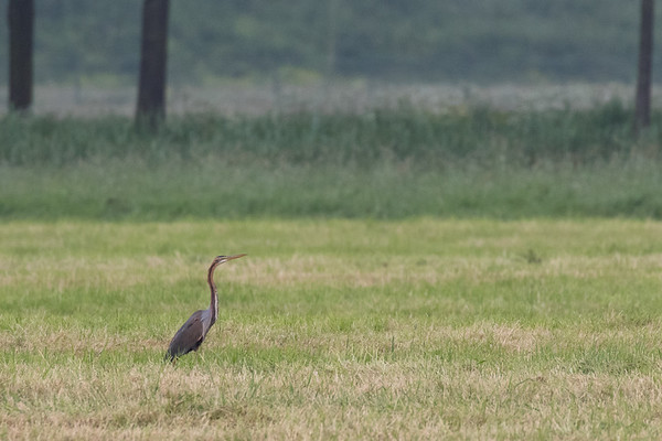 purperreiger, purple heron