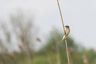 rietzanger, sedge warbler