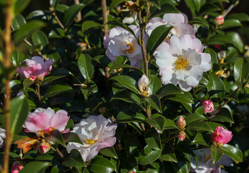 Smithsonian fall-blooming camellia