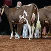 WDE18-MilkingShorthorn-2275