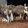 WDE18-MilkingShorthorn-2273