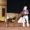 WDE18-MilkingShorthorn-4494