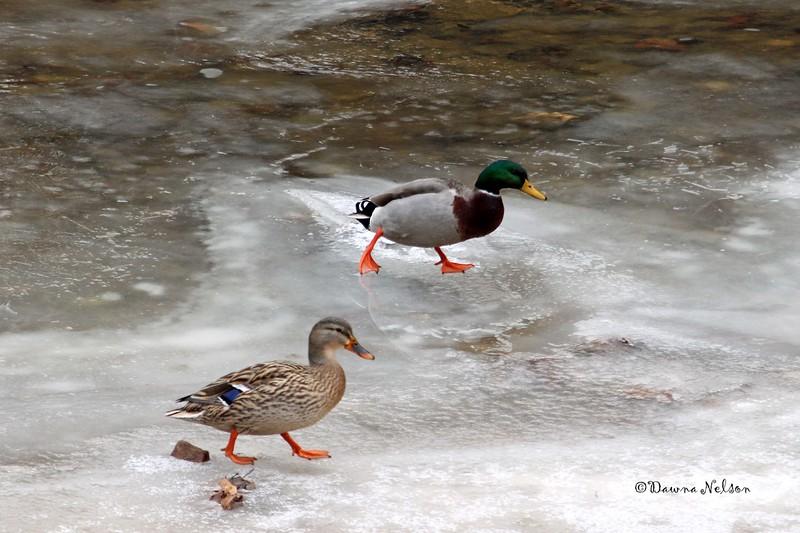 When ducks ice skate.  1/10/2018