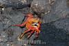 Ecuador : Islas Galápagos - Archipiélago de Colón - Patrimonio de la Humanidad - Reserva de la Biosfera - Sombrero Chino Island - Zayapa o abuete negro ( Grapsus grapsus ) es una especie de crustáceo decápodo del infraorden Brachyura / Galápagos Islands - Chinese Hat - Santiago Island  - One of the most recognizable of the Galapagos Islands , Sombrero Chino name means Chinese Hat / Ekuador : Galapagosinseln - Flora und Fauna der Inseln gehören zum Weltnaturerbe der UNESCO - Galapagos - Chinese Hat ist eine kleine Insel nahe der südöstliche Spitze der Insel Santiago von weniger als 0,25 Quadratkilometer Grösse - Rote Klippenkrabbe © HR Aeschbacher/LATINPHOTO.org