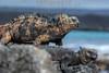 Ecuador : Islas Galápagos - Archipiélago de Colón - Patrimonio de la Humanidad - Reserva de la Biosfera - Sombrero Chino Island / Galápagos Islands - Chinese Hat - Santiago Island  - One of the most recognizable of the Galapagos Islands , Sombrero Chino name means Chinese Hat / Ekuador : Galapagosinseln - Flora und Fauna der Inseln gehören zum Weltnaturerbe der UNESCO - Galapagos - Chinese Hat ist eine kleine Insel nahe der südöstliche Spitze der Insel Santiago von weniger als 0,25 Quadratkilometer Grösse - Meerechse ( Amblyrhynchus cristatus ) © HR Aeschbacher/LATINPHOTO.org