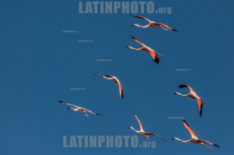 Argentina : Phoenicopterus chilensis , Buenos Aires province / Argentinien : Chileflamingo -  Chilenische Flamingo ( Phoenicopterus chilensis ) © Silvina Enrietti/LATINPHOTO.org