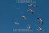 Argentina : Phoenicopterus chilensis , Buenos Aires province / Argentinien : Chileflamingo -  Chilenische Flamingo ( Phoenicopterus chilensis ) © Silvina Enrietti/LATINPHOTO.org
