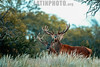 Argentina : Ciervos Colorados ( Red Deer Stag ) en La Pampa / Argentina : Red Deer Stag ( Red Deer Stag ) in La Pampa / Argentinien: Rothirsch in La Pampa© Henry von Wartenberg/LATINPHOTO.org