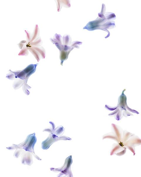 hyacinth haiku