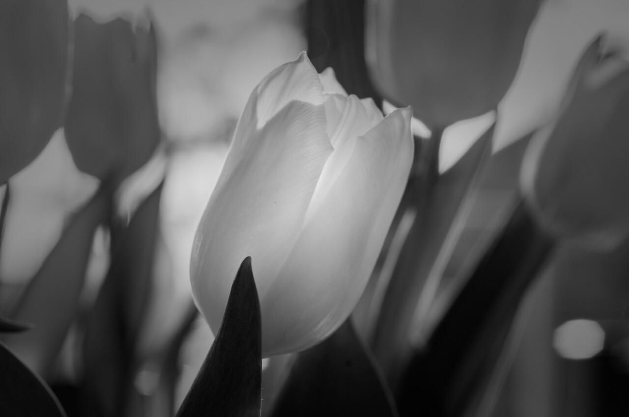 Glowing Tulip