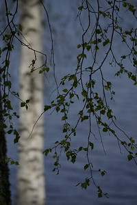 Birch_Hargshamn_ML0167