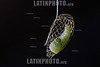 Argentina : caterpillar of moth , Urodidae family . Iguazú National Park , Missiones province / Argentinien :  Raupe © Silvina Enrietti/LATINPHOTO.org