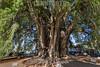 Mexico : El Árbol del Tule es el árbol con el diámetro de tronco más grande del mundo . Es un ahuehuete ( Taxodium mucronatum)  con una circunferencia de copa de aproximadamente 58 metros y una altura de 42 metros / The Tule Tree is the tree with the largest trunk diameter in the world . It is an ahuehuete with a cup circumference of approximately 58 meters and a height of 42 meters - Santa María del Tule , Oaxaca, México / Mexko : Der Árbol del Tule ist ein etwa 1400–1600 Jahre altes Baumexemplar der Art Mexikanische Sumpfzypresse ( Taxodium mucronatum ) Mit einem Stammdurchmesser von 14,05 Metern ist er der dickste Baum der Welt © Andrea Díaz-Perezache/LATINPHOTO.org