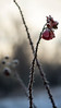 Icy rose