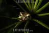 Costa Rica : Anura / Masked tree frog , Smilisca phaeota frog , Tropical humid forest / Costa Rica : Frosch , Natur © Andrea Díaz-Perezcahe/LATINPHOTO.org