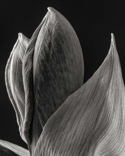 amaryllis in bud