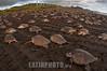 Costa Rica : Llegada de la tortuga Ridley, Refugio Nacional de Vida Silvestre Ostional , Guanacaste / Arrival of the Ridley turtle , Ostional National Wildlife Refuge , Guanacaste / Costa Rica : Ankunft der Oliv - Bastardschildkröte im Ostional National Wildlife Refuge , Guanacaste - Meeresschildkröten © Andrea Díaz-Perezcahe/LATINPHOTO.org