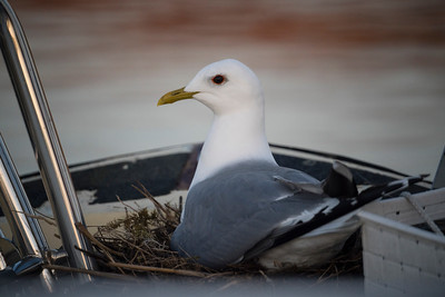 Glaucous Gull on boat deck