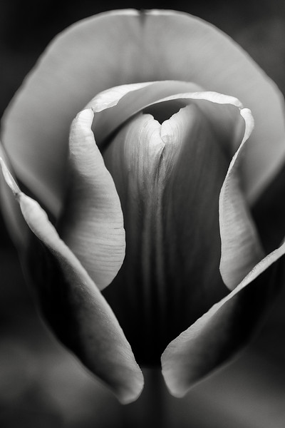 tulip 'Cash' (homage to Georgia O'Keeffe)