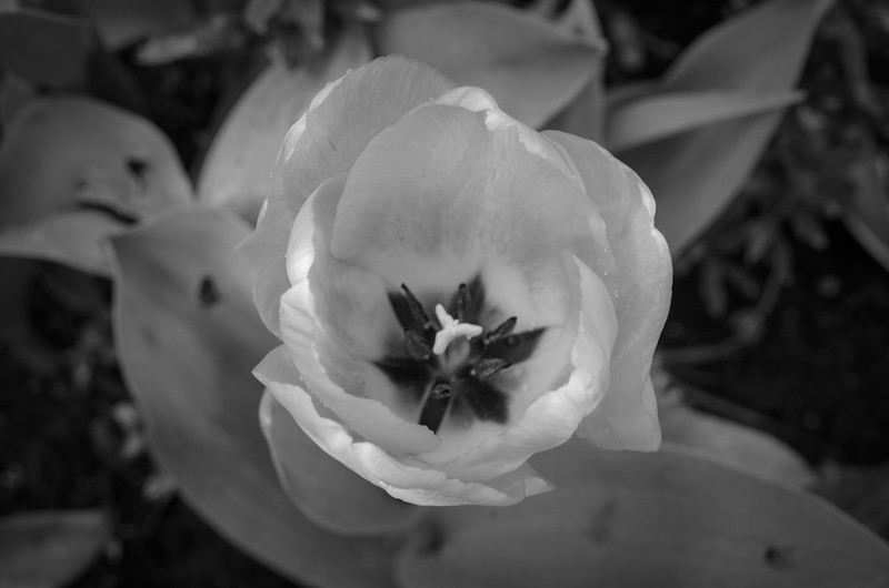 Early Tulip