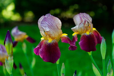 Indian Chief Iris