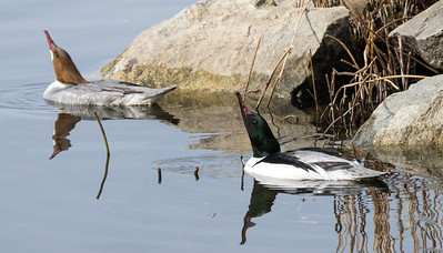 Goosanders couple