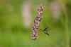 Argentina : Chlorostilbon aureoventris in Thalia geniculata inflorescence , Corrientes province / Argentinien : Kolibri - Vogel © Silvina Enrietti/LATINPHOTO.org