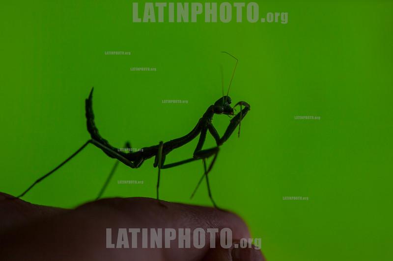 Argentina : Mantidae , Chaco province / Argentinien : Insekt - Fangschrecken - Gottesanbeterinnen © Silvina Enrietti/LATINPHOTO.org