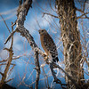Male Red-shouldered Hawk, Round Valley, Bishop, CA