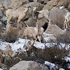 Sierra Nevada Bighorn Sheep, Pine Creek Canyon, Bishop, CA
