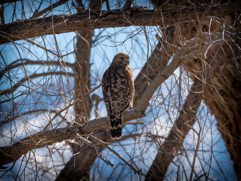 Female Red-shouldered Hawk, Round Valley, Bishop, CA