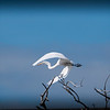 Great Egret, San Luis NWR, CA