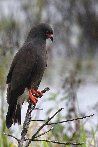 Snail Kite in the Rain