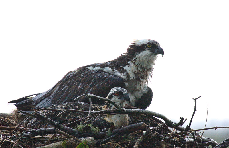 Adult and Young Osprey