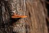 Argentina : Shelf fungi , Calilegua National Park , Jujuy province / Argentinien : Pilz © Silvina Enrietti/LATINPHOTO.org