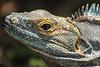 Costa Rica : Iguana muy joven , ellas toman el sol para calentar su cuerpo / Costa Rica : Leguan - Schuppenkriechtiere © Carlos León/LATINPHOTO.org
