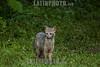 Argentina : Zorro cangrejero (Cerdocyon thous  /crab-eating fox ( Cerdocyon thous ) , El Rey National Park , Salta province / Argentinien : Maikong ( Cerdocyon thous ) Krabbenfuchs , ist der häufigste Wildhund Südamerikas © Silvina Enrietti/LATINPHOTO.org