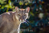 Argentina : puma, león de montaña / mountain lion ( Puma concolor ) , La Plata Zoo - puma, panther , catamount / Argentinien : © Silvina Enrietti/LATINPHOTO.org