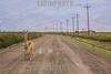 Argentina : Vicugna , género de mamíferos artiodáctilos de la familia Camelidae - Vicugna vicugna , Jujuy province / Vicugna ,  genus containing two South American camelids / Argentinien : Vikunjas ( Vicugna ) in der Provinz Jujuy © Silvina Enrietti/LATINPHOTO.org
