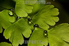 Argentina : Hojas con gotas de agua / Adiantum lorentzii , El Rey National Park , Salta province / Argentinien : Blätter mit Wassertropfen © Silvina Enrietti/LATINPHOTO.org
