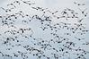 Costa Rica : Patos volando en la Reserva Natural del Corral de Piedra / Ducks , Corral de Piedra Wild Life Reserve , Guanacaste / Costa Rica : Enten fliegen im Naturschutzgebiet Corral de Piedra © Victor Jaramillo/LATINPHOTO.org
