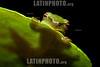 Argentina : post - metamorphic Hypsiboas sp. , El Rey National Park , Salta province / Argentinien : Frosch © Silvina Enrietti/LATINPHOTO.org